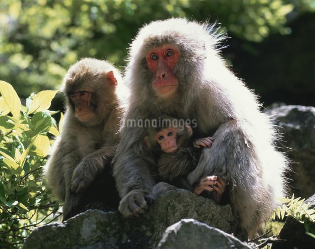 猿の親子 志賀高原の写真素材 [FYI03335562]