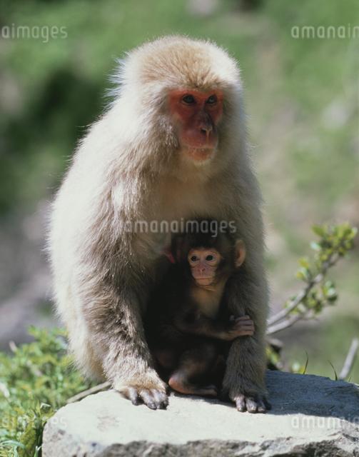 猿の親子の写真素材 [FYI03335591]