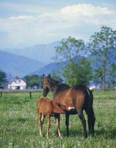 乳を飲む子馬の写真素材 [FYI03335626]