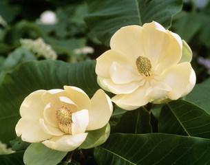 ホオノキの花の写真素材 [FYI03335641]
