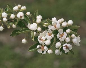 ラフランスの花の写真素材 [FYI03335788]