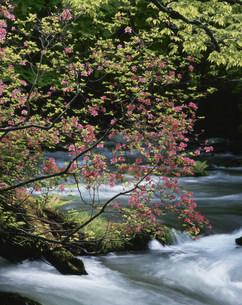 つつじ咲く奥入瀬渓流の写真素材 [FYI03335793]