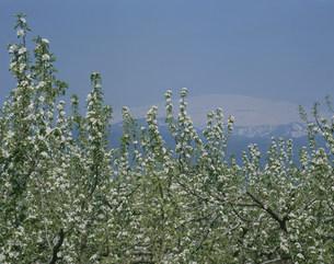 ラフランスの花と月山の写真素材 [FYI03335796]