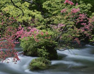 つつじ咲く奥入瀬渓流の写真素材 [FYI03335798]