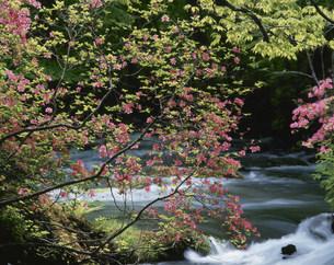 つつじ咲く奥入瀬渓流の写真素材 [FYI03335800]