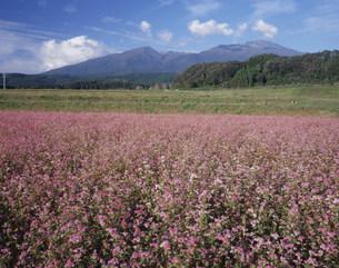 あかそばの花と鳥海山の写真素材 [FYI03335806]