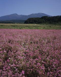 あかそばの花と鳥海山の写真素材 [FYI03335812]