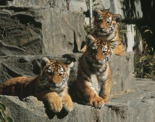 子虎 日本平動物園の写真素材 [FYI03335821]