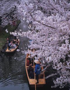 桜見物 新河岸川の写真素材 [FYI03335824]