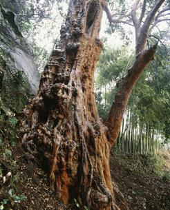 早川のビランジの大木 樹齢約400年の写真素材 [FYI03338126]