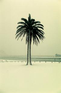 雪が積もったシュロの木の写真素材 [FYI03338888]