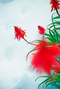 アロエの赤い花の写真素材 [FYI03338889]