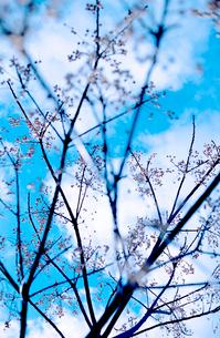 白い小さな実をつけた冬枯れの木立の写真素材 [FYI03338899]