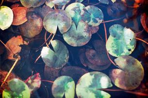 凍り付いた水草のある水槽の写真素材 [FYI03338906]