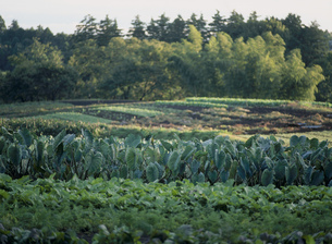サトイモ畑の写真素材 [FYI03338940]