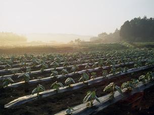 サトイモ畑の写真素材 [FYI03338942]