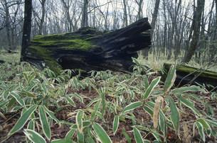 クマザサと倒木の写真素材 [FYI03338976]