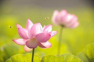 ハスとミツバチの写真素材 [FYI03339057]
