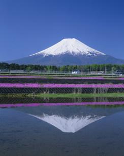 芝ザクラと富士山の写真素材 [FYI03339138]