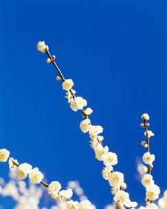 梅(八重満月枝垂)丸子梅園の写真素材 [FYI03339175]