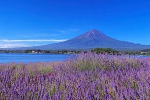 ラベンダー咲く河口湖と富士山の写真素材 [FYI03339498]