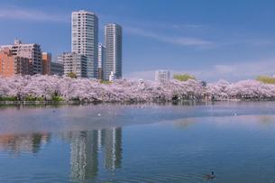 不忍池と桜並木の写真素材 [FYI03339514]