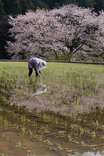 諸木野の田植えと桜の写真素材 [FYI03339617]