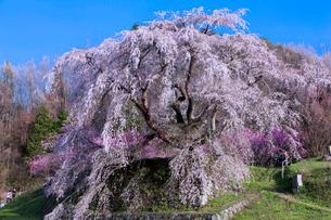 本郷の瀧桜(又兵衛桜)の写真素材 [FYI03339628]