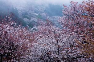 吉野山中千本のサクラの写真素材 [FYI03339629]