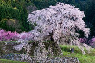 本郷の瀧桜(又兵衛桜)の写真素材 [FYI03339630]