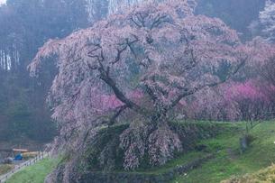 本郷の瀧桜(又兵衛桜)の写真素材 [FYI03339632]