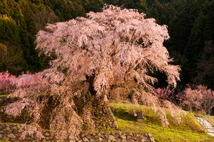 本郷の瀧桜(又兵衛桜)の写真素材 [FYI03339634]