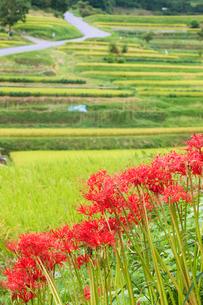 稲渕の棚田とヒガンバナの写真素材 [FYI03339652]