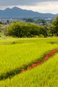 山辺道の稲田とヒガンバナの写真素材 [FYI03339654]