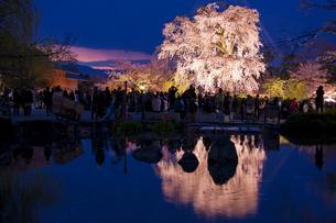円山公園のサクラの写真素材 [FYI03339748]