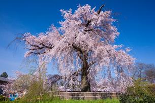 円山公園のサクラの写真素材 [FYI03339771]