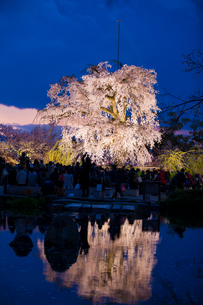 円山公園のサクラの写真素材 [FYI03339774]