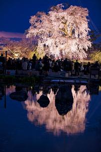 円山公園のサクラの写真素材 [FYI03339775]
