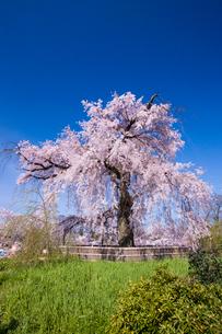 円山公園のサクラの写真素材 [FYI03339777]