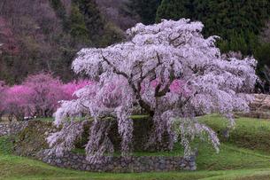 本郷の瀧桜の写真素材 [FYI03340000]