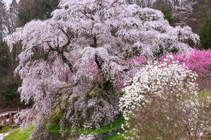 本郷の瀧桜の写真素材 [FYI03340009]