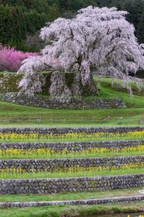 本郷の瀧桜の写真素材 [FYI03340011]