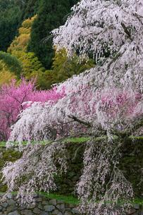 本郷の瀧桜の写真素材 [FYI03340029]