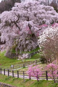 本郷の瀧桜の写真素材 [FYI03340031]