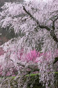 本郷の瀧桜の写真素材 [FYI03340033]