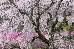 本郷の瀧桜の写真素材 [FYI03340034]
