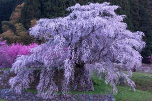 本郷の瀧桜の写真素材 [FYI03340036]