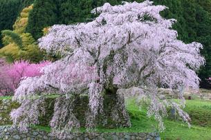 本郷の瀧桜の写真素材 [FYI03340040]