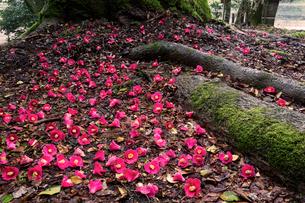 花尻の森の落椿の写真素材 [FYI03340123]