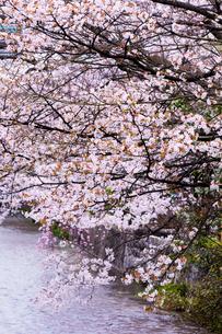 祇園白川のサクラの写真素材 [FYI03340130]